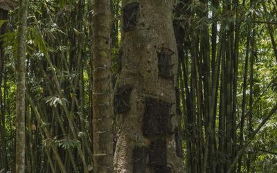 Grób w drzewie – Indonezja, Tana Toraja