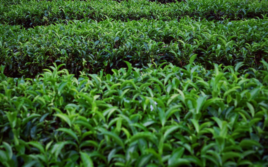 Herbata z Nilgiri